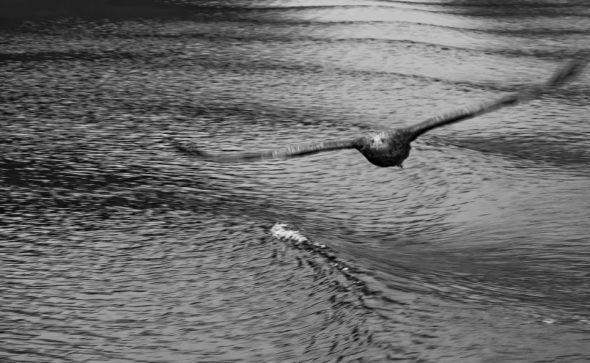 Seeadler im Trollfjord, Norwegen