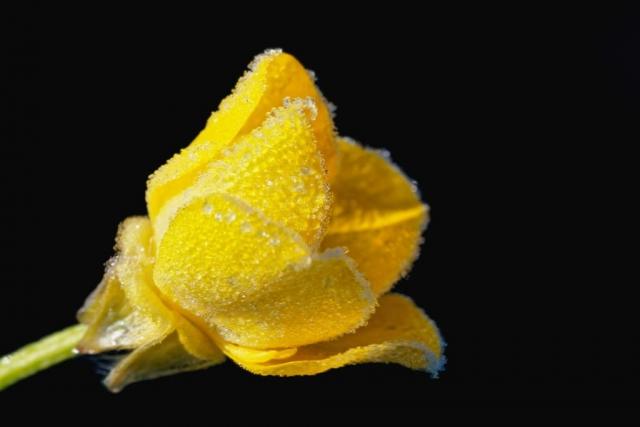 Blume - Gelb im Frost