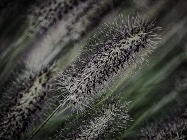 Lampenputzergras - abstrakt